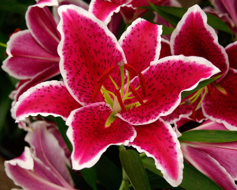 Lilium oriental hybrid - After Eight - Deep pink with white margin bowl shaped flowers - petals (tepals) marked with  black spots