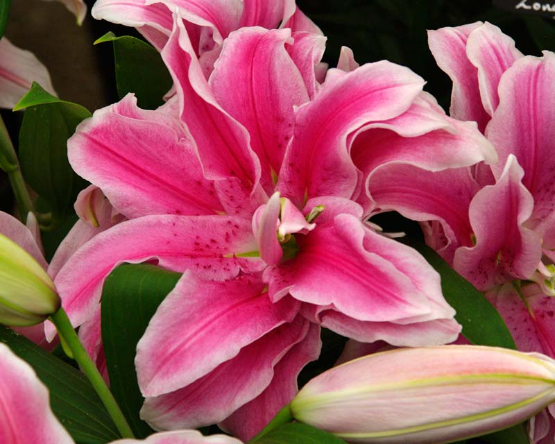 Lilium Oriental Hybrid Balonica - double bloomed bowl shaped flower - pink with soft white margin