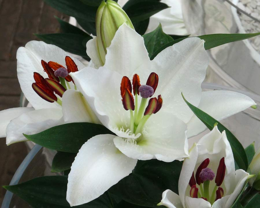 Oriental hybrid lilies - Hybrid with pure white flowers