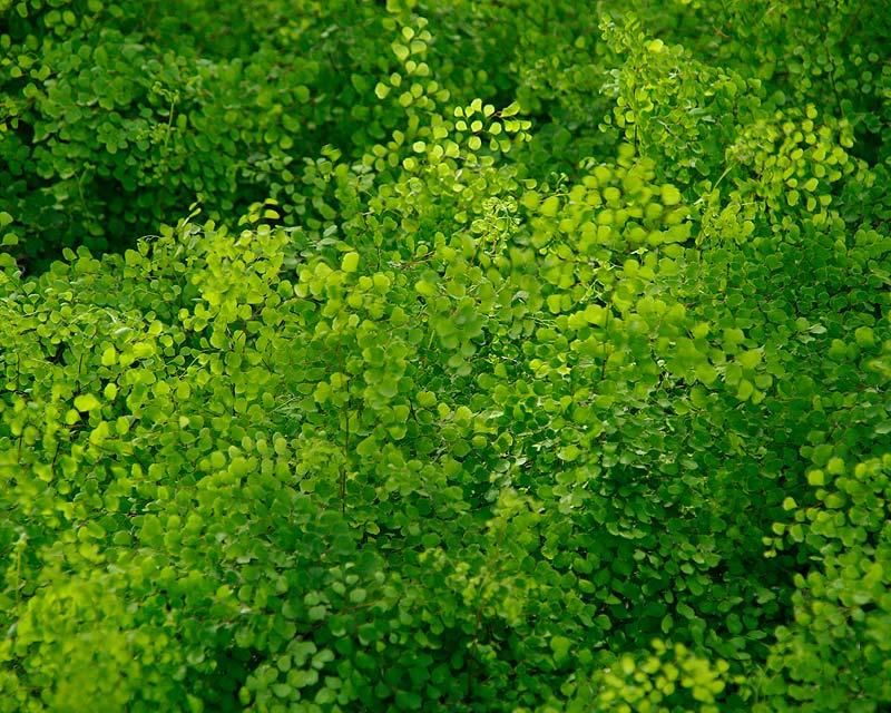 Adiantum aethiopicum, Maidenhair fern makes good understorey ground cover