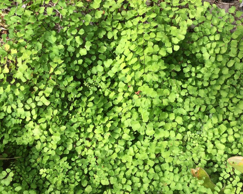 Adiantum Aethiopicum - maidenhair fern