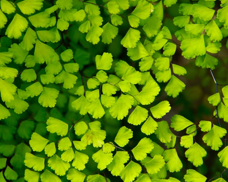 Adiantum aethiopicum, Maidenhair fern has fronds made up pretty wedge shaped and slightly rounded bright green leaves