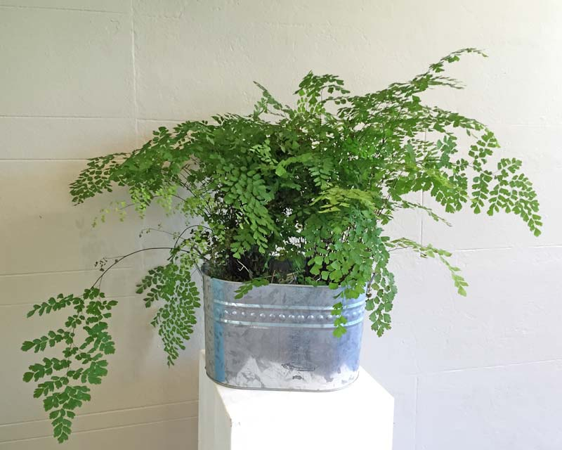 Adiantum sp - wonderful pot plant
