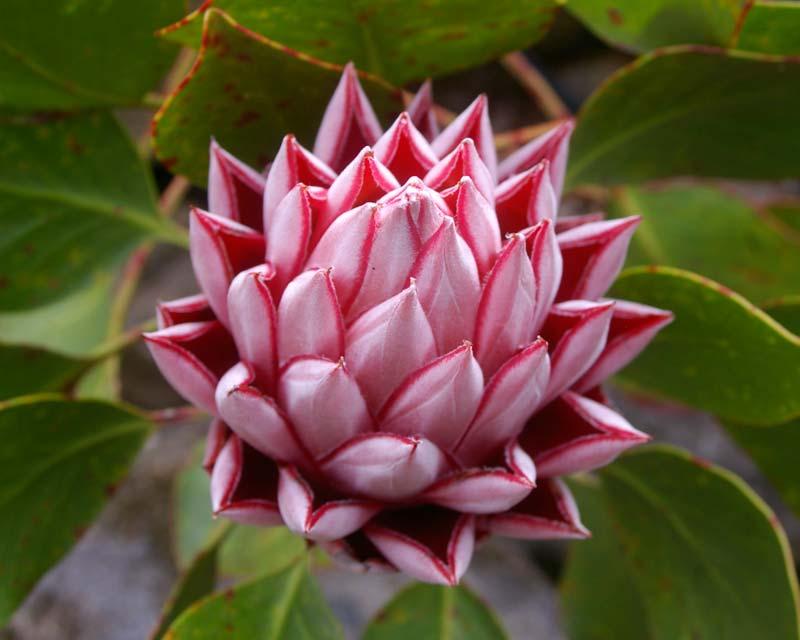 Gardensonline Protea Cynaroides
