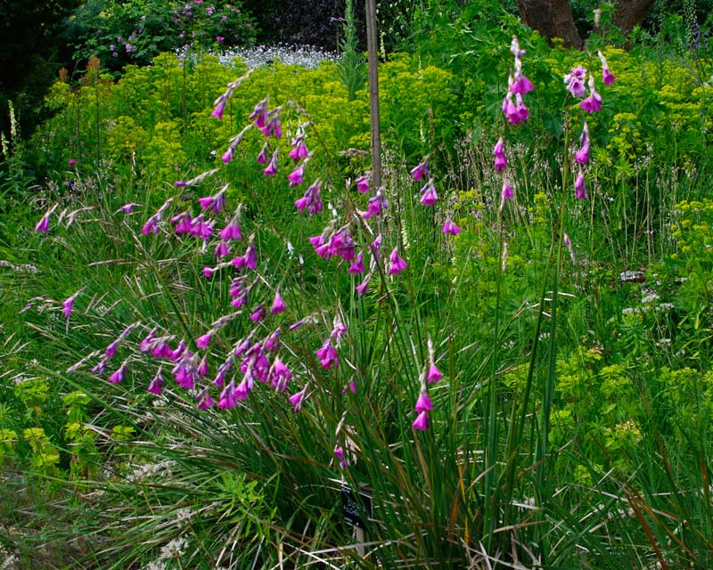 Gardensonline plant finder dierama pulcherrimum tufts of grass like leaves and arching flower stems with pink bell mightylinksfo