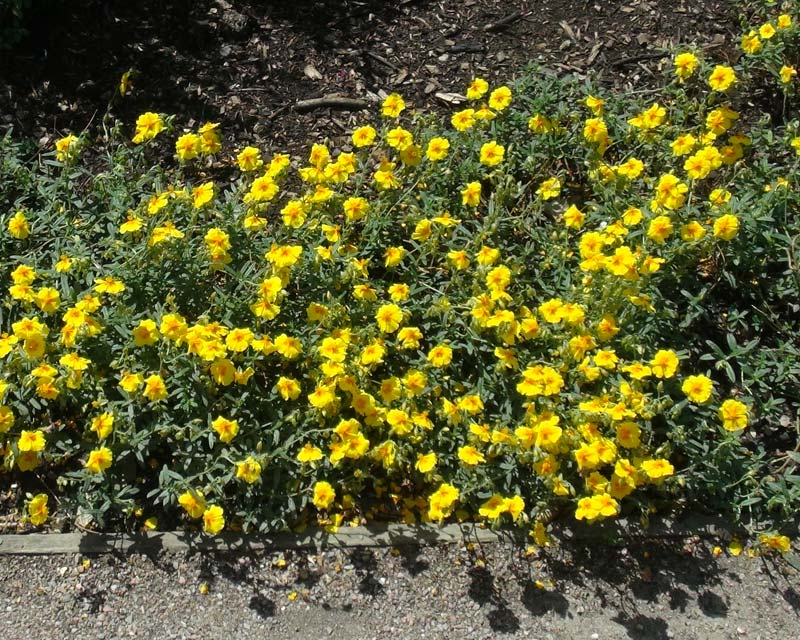 Helinathemum nummularium hybrid Ben Fahda