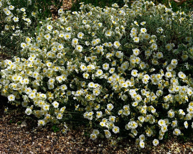 helianthemum nummularium hybrid The Bride