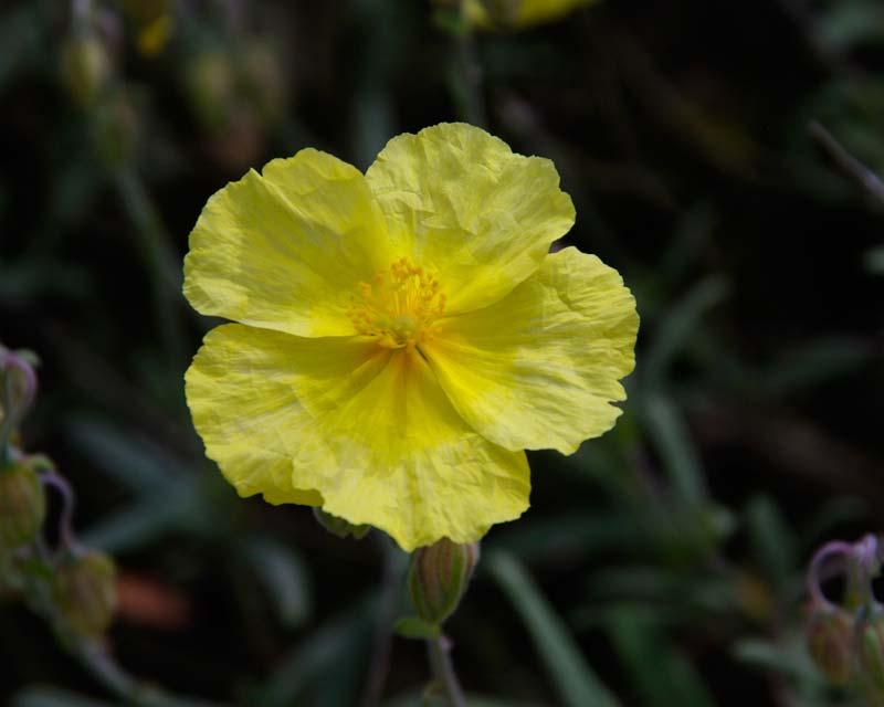 Helianthemum nummularium Wisley Primrose