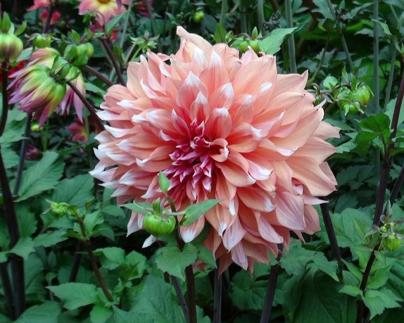 Dahlia Decorative Group Holland Festival - this is a giant hybrid with 250mm heads