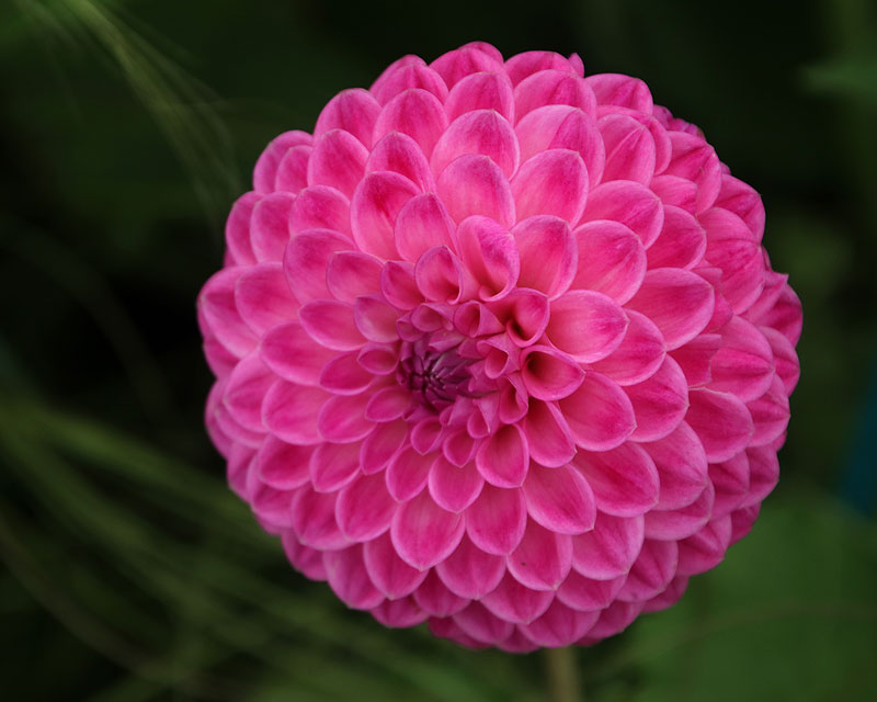 Dahlia Decorative Group - Loretta (looks like a Ball but is classified as Decorative)