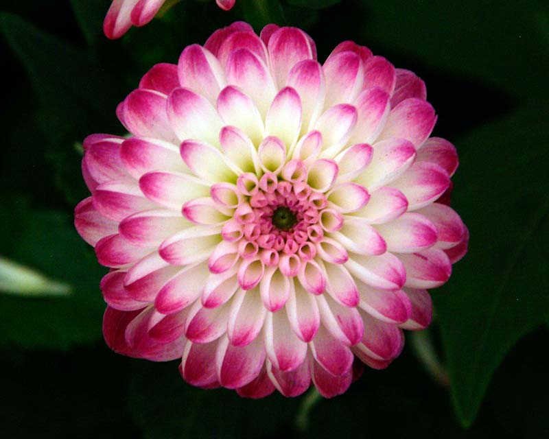 Dahlia Decorative Group - Pink Isa