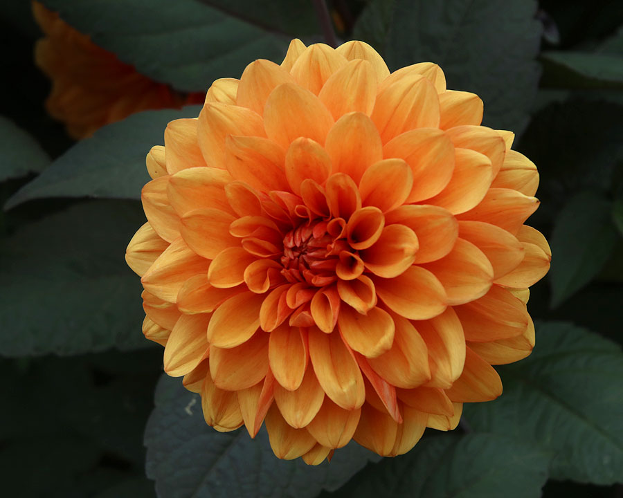 Dahlia - from the Decorative Group