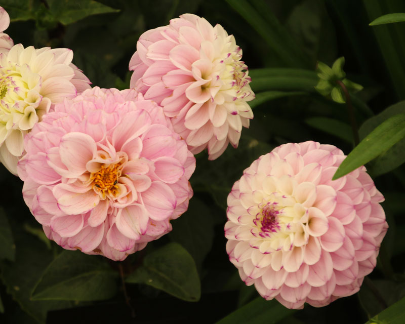 Dahlia Ball group - Genova
