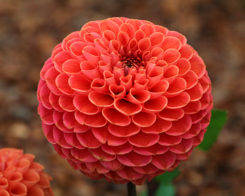 Dahlia Ball Group - Jomanda