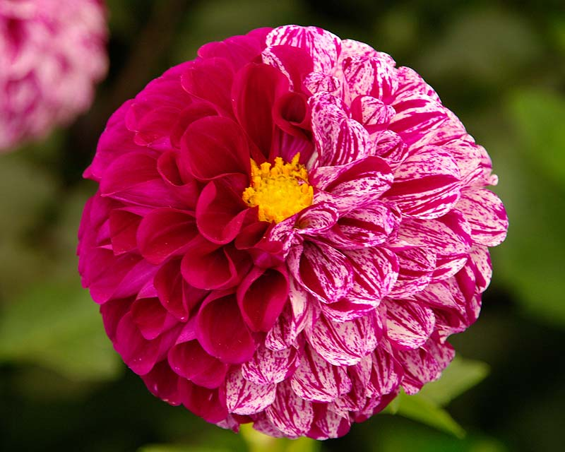Dahlia Ball group - Marble Ball