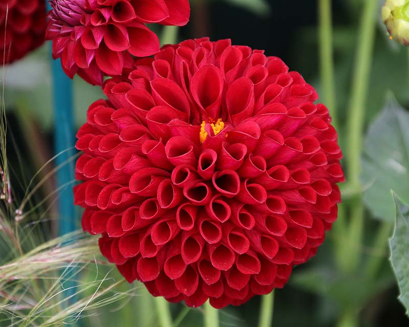 Dahlia Miniature Ball - this is Barbarry Maverick