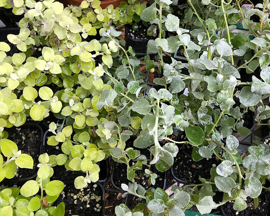 Planting a mix of Helichrysum petiolare and Limelight gives additional interest to your garden border