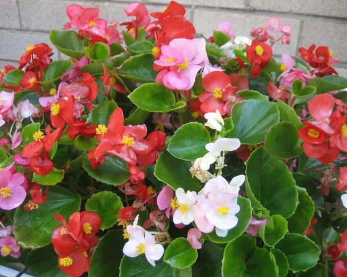 gardensonline begonia semperflorens