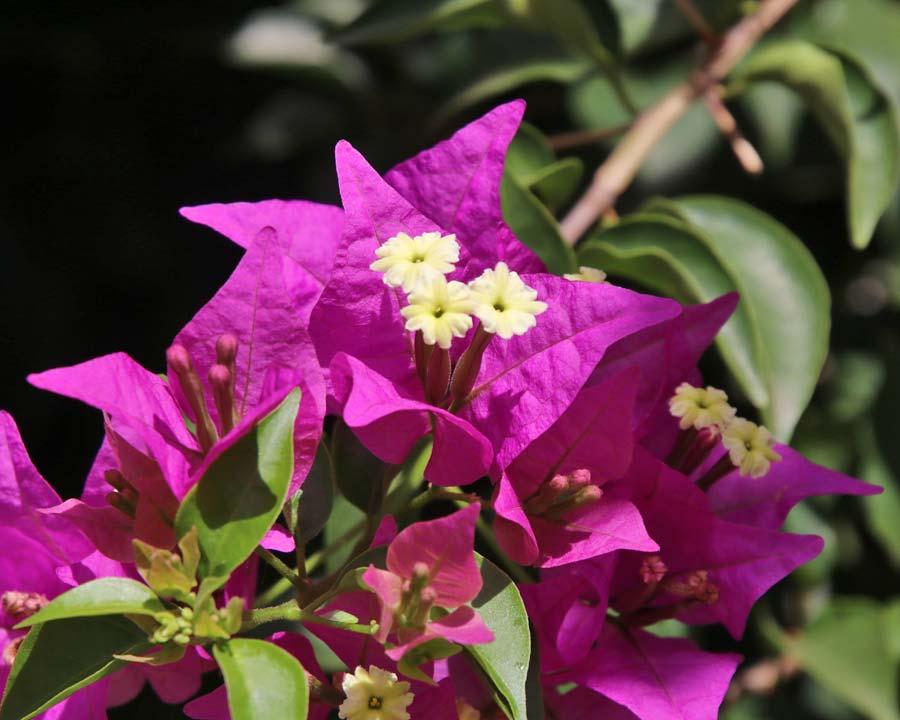 Bougainvillea glabra Magenta