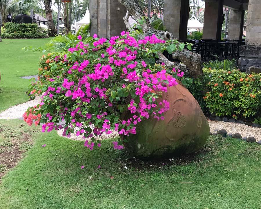 Bougainvillea glabra -