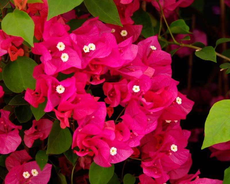 The brilliant pink flower-like bracts  of Bougainvillea Tango Supreme