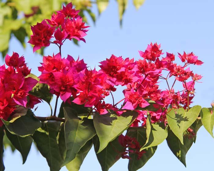 Bougainvillea glabra  - Jill Triay