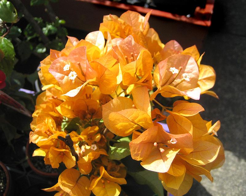 Bougainvillea glabra - Golden
