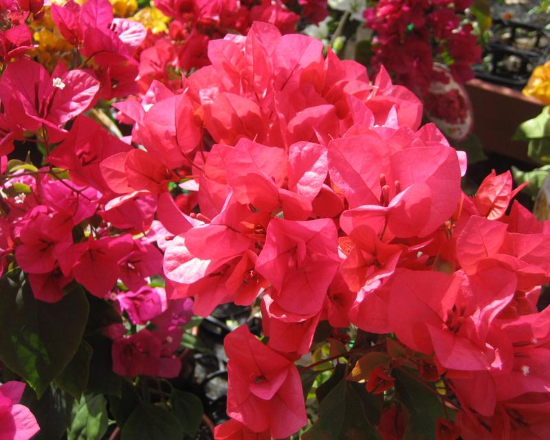 Bougainvillea glabra - Red