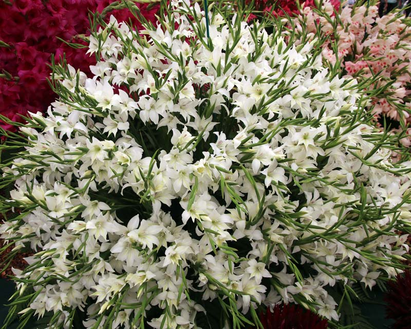 Gladiolus nanus Alba
