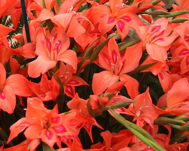 Gladiolus nanus Amanda Mahy