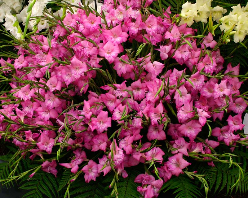 Gladiolus Nanus hybrid Charm - Pink flowers with white throats