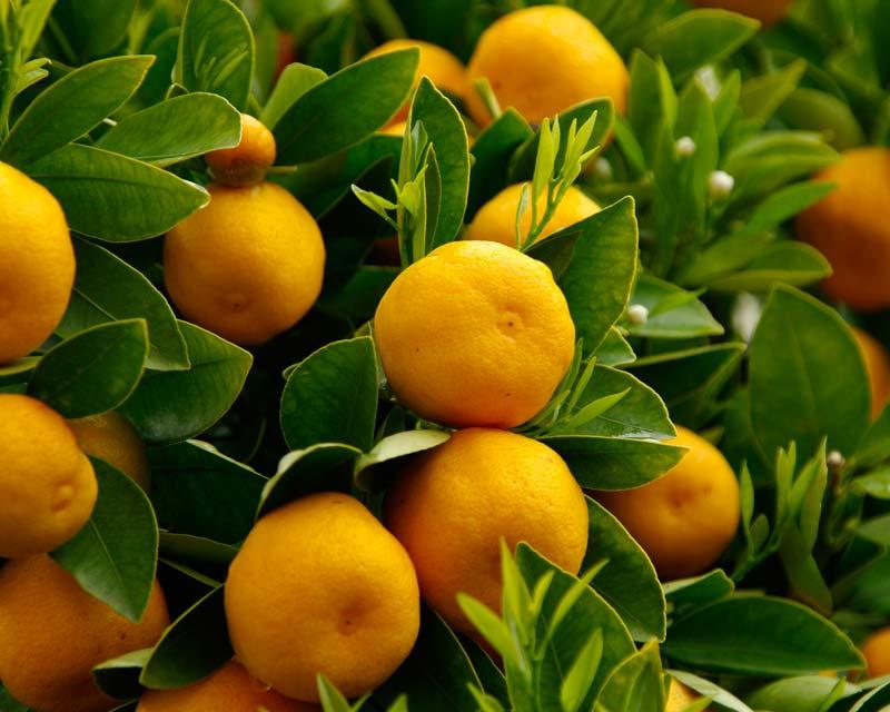 Gardensonline Citrus Sinensis Valencia