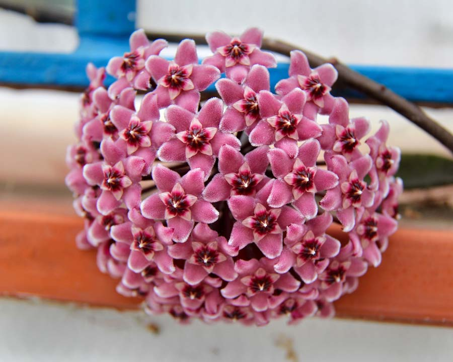 Hoya carnosa Wax Flower - Jill Triay