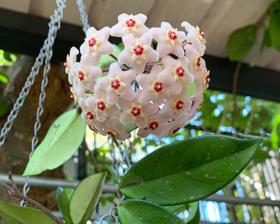 Hoya carnosa in white