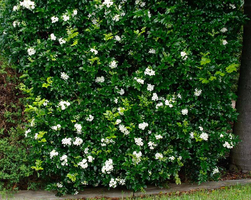 Gardensonline Murraya Paniculata Syn Exotica