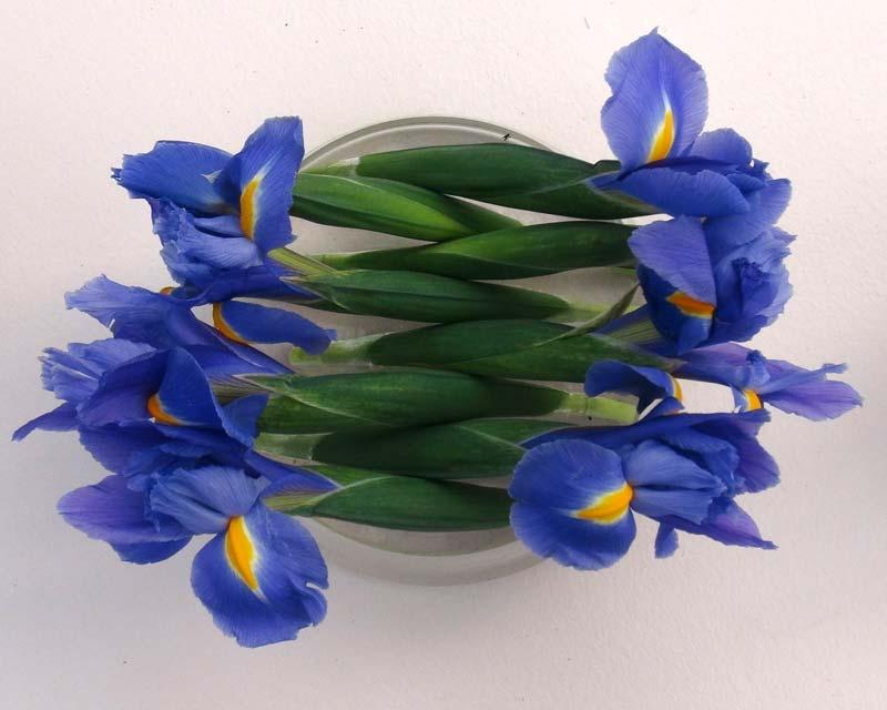 Iris xiphium, Dutch Hybrid, this is Blue Diamond