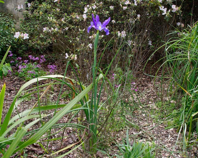 Iris Xiphium hybrid - taken in the Botanic Gardens Sydney