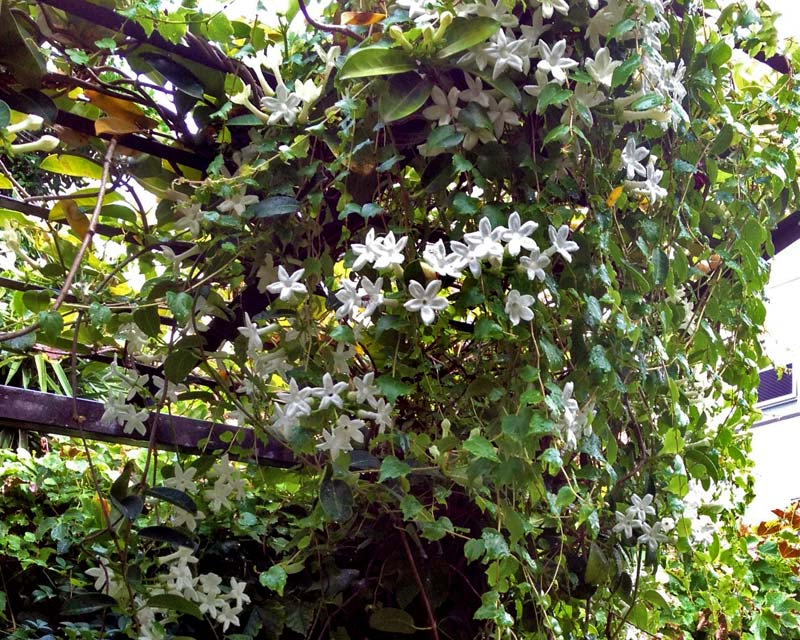 Stephanotis can get a bit unruly, so keep it trimmed and therefore contained