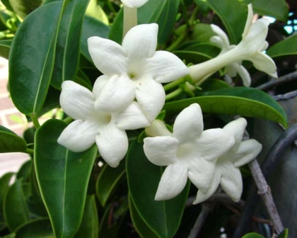 Stephanotis floribunda - intensely fragrant, especially in the evening.