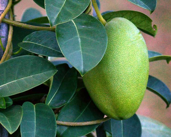 Fruit(non-edible) will not often set -  but when it does you'll know it.  They are quite large, almost as big as a pear.  Let them ripen brown then they'll split open to reveal the se