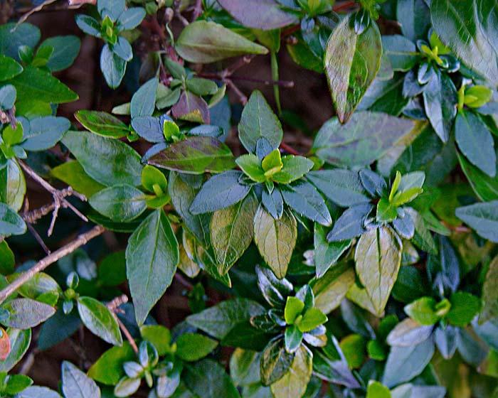 Abelia x grandiflora lusterous foliage
