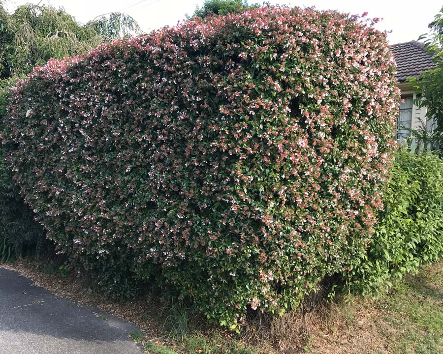 Abelia grandiflora, often used as hedging in New Zealand