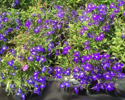 Lobelia Erinus Gardensonline