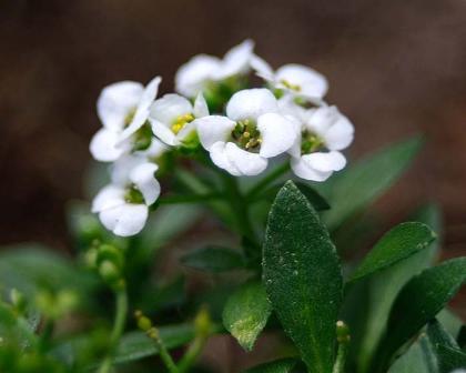 https://www.gardensonline.com.au/Uploads/Plant/949/LobulariaMaritimaWhiteECu700Main.jpg