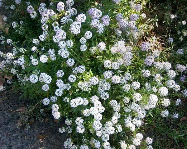 Lobularia maritima - Alyssum