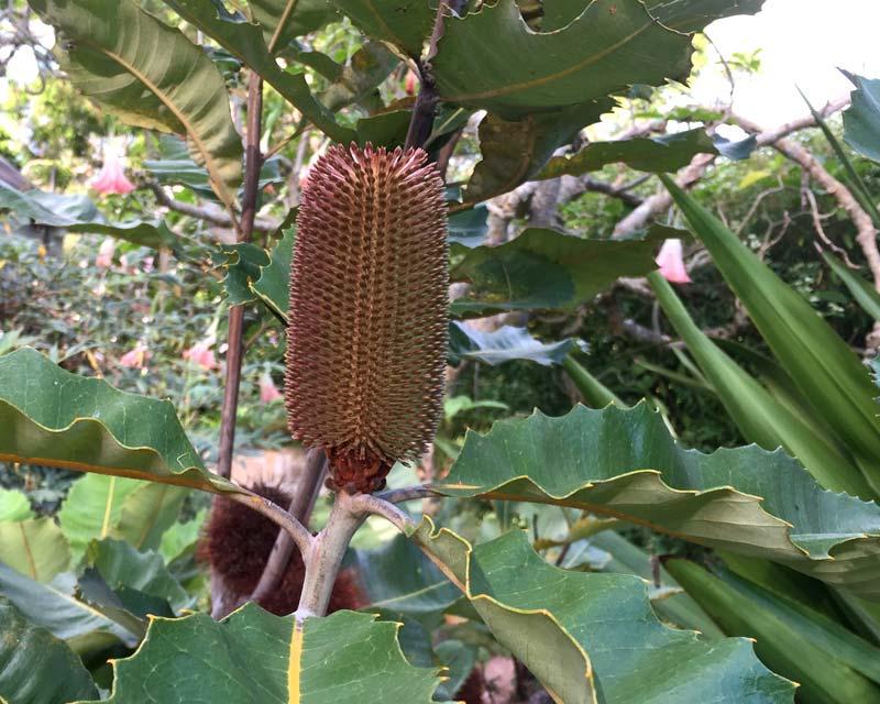 Immature flower cone - Banksia robur
