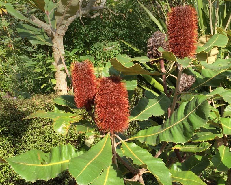 Banksia robur.  Swamp Banksia