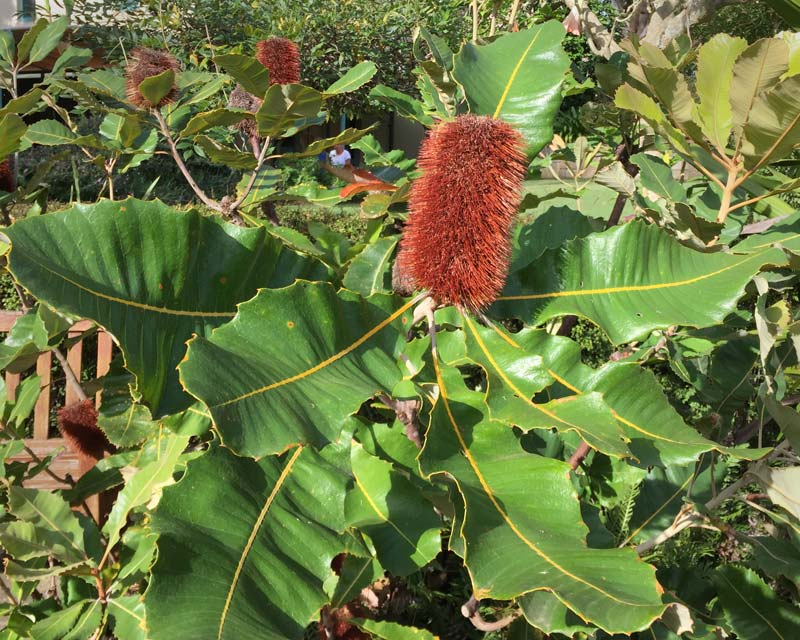 Banksia robur.  Swamp Banksia cone turns a deep brown as it ages