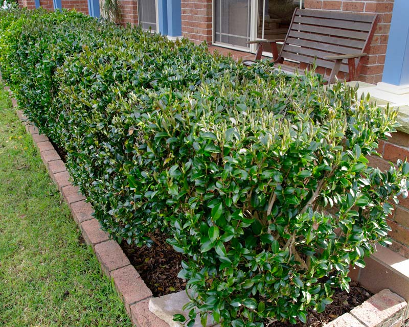 Camellia sasanqua kept as a low hedge, though it will naturally row higher than this