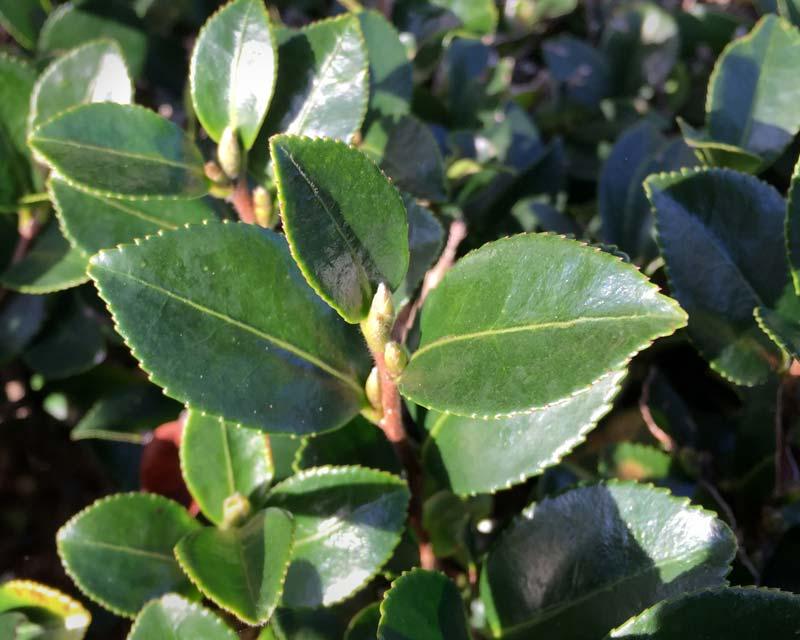 Gardensonline Camellia Sasanqua
